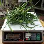 Garlic Scapes watermarked